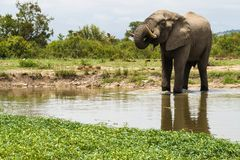 Elephant standing inside a watering hole in the park. royalty free stock image