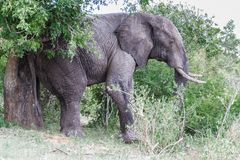 Elephant scratching against a tree in the park. royalty free stock photography