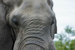 Elephant up close in the park royalty free stock photography