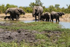 Elephant herd drinking from a watering hole in the park. royalty free stock images