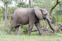 Elephant walking past damaged and broken trees in the park. stock images
