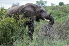 Elephant grazing in the bushes of the park. stock images