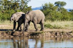 Elephant drinking at the edge of a watering hole in the park. stock photo