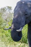 Elephant standing very close to me. stock photography