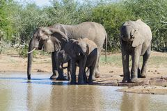 Elephant herd enjoying the sun while standing at a watering hole in the park. royalty free stock images