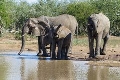 Elephant herd drinking cautiously at a watering hole. stock photos