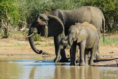 Elephant Herd standing close together at a watering hole in the park. stock image
