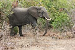 Elephant standing in a clearing from the green bushes in the park. stock image