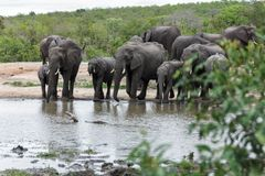 Herd og Elephant dominating the small watering hole in the park. Encountered this Elephant while visiting the famous Kruger National Park in South Africa stock photo
