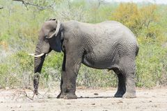 Elephant standing in a clearing in the park. royalty free stock image