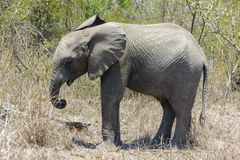 Little Elephant standing in the dry grasses of the park. royalty free stock photos