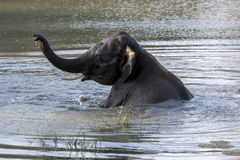 An elephant enjoys a bath in a water hole in Yala National Park near Tissamaharama in Sri Lanka. Stock Image