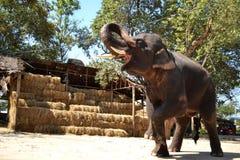 Elephant entertainment show Royalty Free Stock Photography