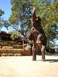 Elephant entertainment show. Big elephant entertainment show, Thailand Royalty Free Stock Image