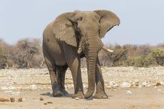 Elephant in Etosha, Namibia royalty free stock image