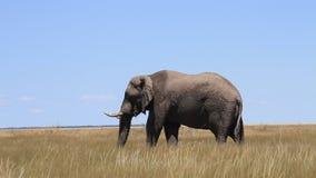 Elephant at the Etosha National Park stock footage