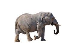 Elephant, Etosha National park, Namibia royalty free stock images