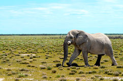 Elephant in Etosha Royalty Free Stock Photo