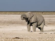 Elephant in Etosha Park Royalty Free Stock Photos