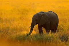 Elephant, evening sun in Africa. Elephant walking in water yellow and green grass, big animal in nature habitat, Chobe sunset, Bot. Swana, Africa. Beautiful Royalty Free Stock Photography