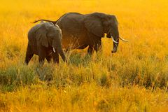 Elephant, evening sun in Africa. Elephant walking in water yellow and green grass, big animal in nature habitat, Chobe sunset, Bot. Swana, Africa. Beautiful Royalty Free Stock Images