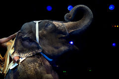 Elephant exhibition at the circus Stock Photography
