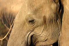 Elephant Eye. An peaceful look at the gentle giants of the African plains Royalty Free Stock Photo