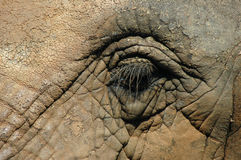 Free Elephant Eye Royalty Free Stock Photo - 13894435