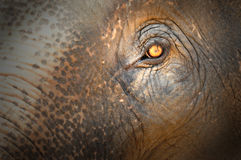Elephant eye. And the details of skin stock photo