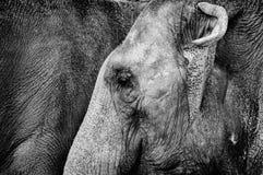 Elephant eye Royalty Free Stock Photos