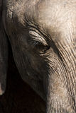 Elephant Eye stock photography