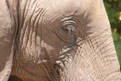 Elephant eye. Close up of an african elephant eye Stock Image