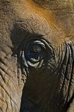 Elephant Eye. Elephant (loxodonta africana) eye and skin texture stock photos