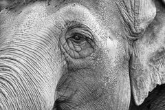 Elephant eye in black and white. Elephant eye close up detail stock photography