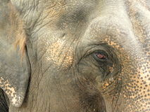 Elephant eye. Elephant from the circus walking on a street in Eforie Sud, Romania Stock Images