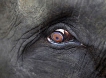 Elephant eye close-up Royalty Free Stock Photos