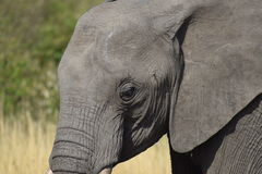 Elephant Eye. A close up into the mind of an elephant Stock Photography