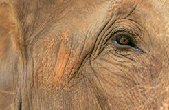 Elephant Eye Royalty Free Stock Image