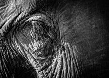 Elephant eye closeup Stock Images
