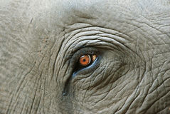 Free Elephant Eye Detail Royalty Free Stock Photography - 26211517