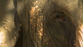 Elephant Eye and Head. Handheld, close up shot of an elephant`s eye and head stock footage