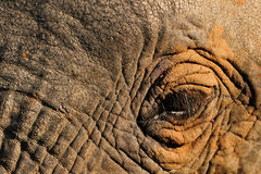 Elephant eye. Image taken of an elephant in kruger national park, while on a game drive. He came so close that I could have reached out and touched him Stock Photography