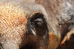 Elephant eyes Stock Photography