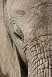 Elephant Face royalty free stock photography