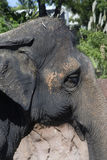 Elephant Face Stock Image