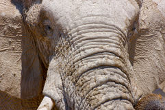 Elephant face (close-up). An elephant at the waterhole preparing to scare the photographer (close-up royalty free stock image