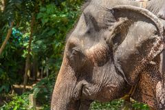 Elephant face Royalty Free Stock Images