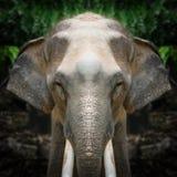 Elephant face close up Royalty Free Stock Photos