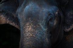 Elephant face. In dark background Stock Image