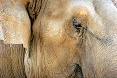 Elephant face detail Royalty Free Stock Images